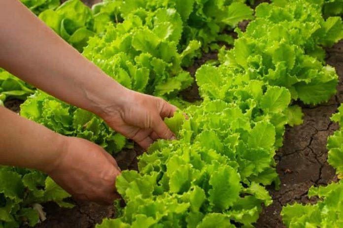 Yeşil sebzeler dikkatli kullanılmalı!